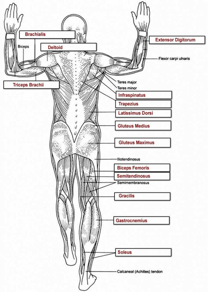 Muscle Worksheets For Anatomy Anatomy Resources Pinterest Muscle Anatomy Muscle And Lower