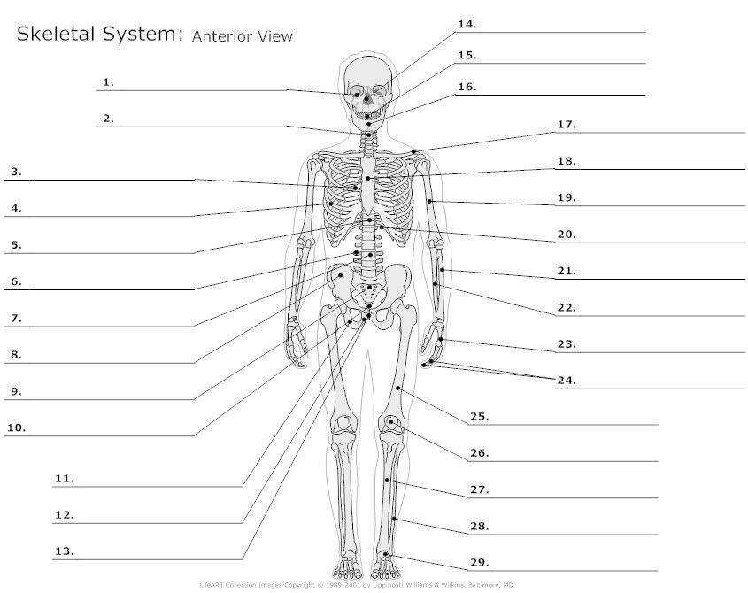 Anatomy Worksheets
