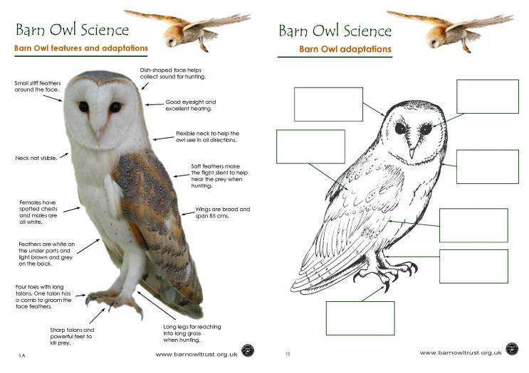 Amazing Barn Owl adaptations