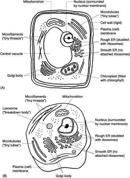 Animal And Plant Cell Worksheets Samsungblueearth · 1000 images about Cells 5th grade on Pinterest