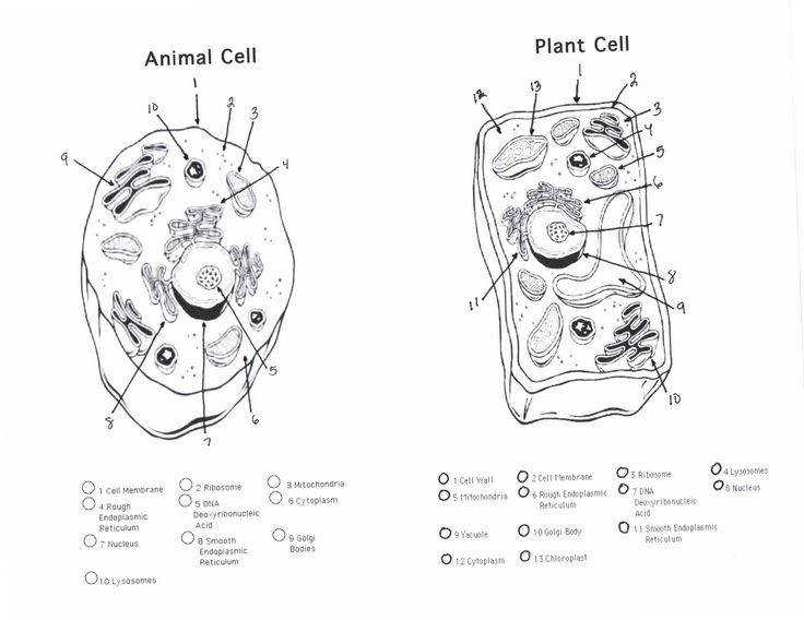 Printable Plant and Animal Cell