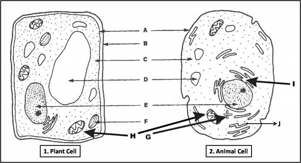 Draw And Label An Animal Cell Plant Cell And Animal Cell Diagram Quiz Biology Multiple Choice