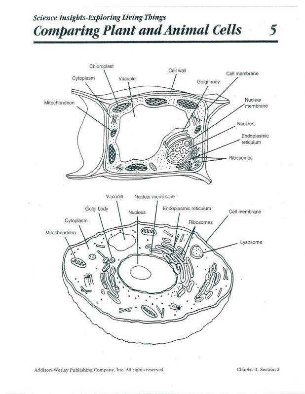 Draw An Animal Cell And Label It Line Drawing Plant Cells Labeled 146 Fascinating In