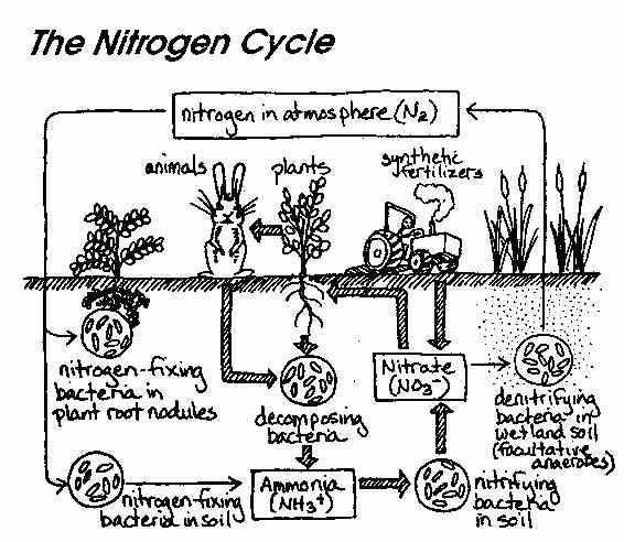 This is a great visual depicting the Nitrogen Cycle This could be glued into students