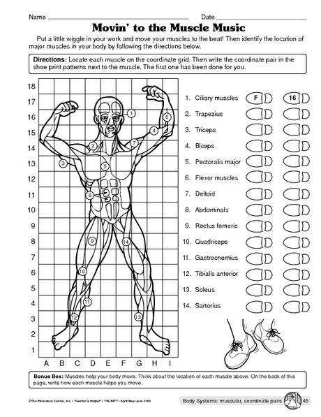Human body lesson · Muscular system worksheet More