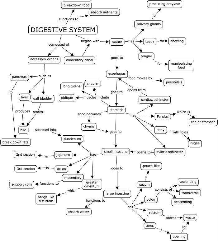 Digestive System Label Worksheet