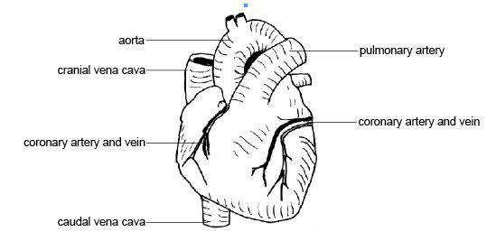 Anatomy and physiology of animals heart showing Coronary vessels