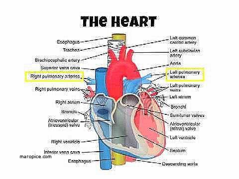 The Human Heart Anatomy And Circulation Worksheet New As Pe A P Cardiovascular System Intro