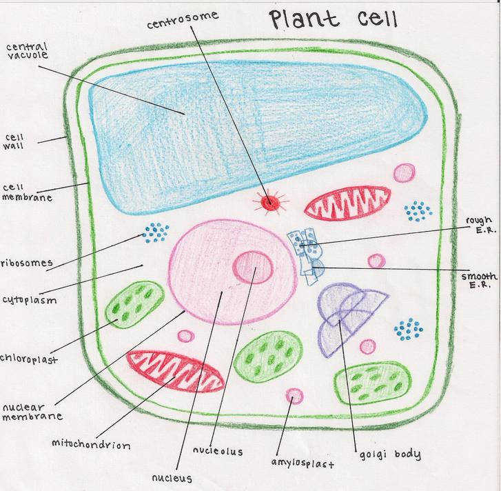cell 727x712 plant cell