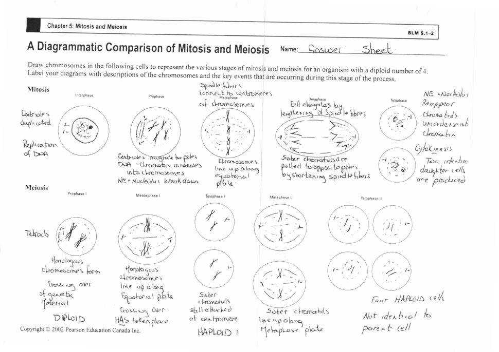 Cell Cycle And Mitosis Worksheet Key Tags Cell Cycle Labeling