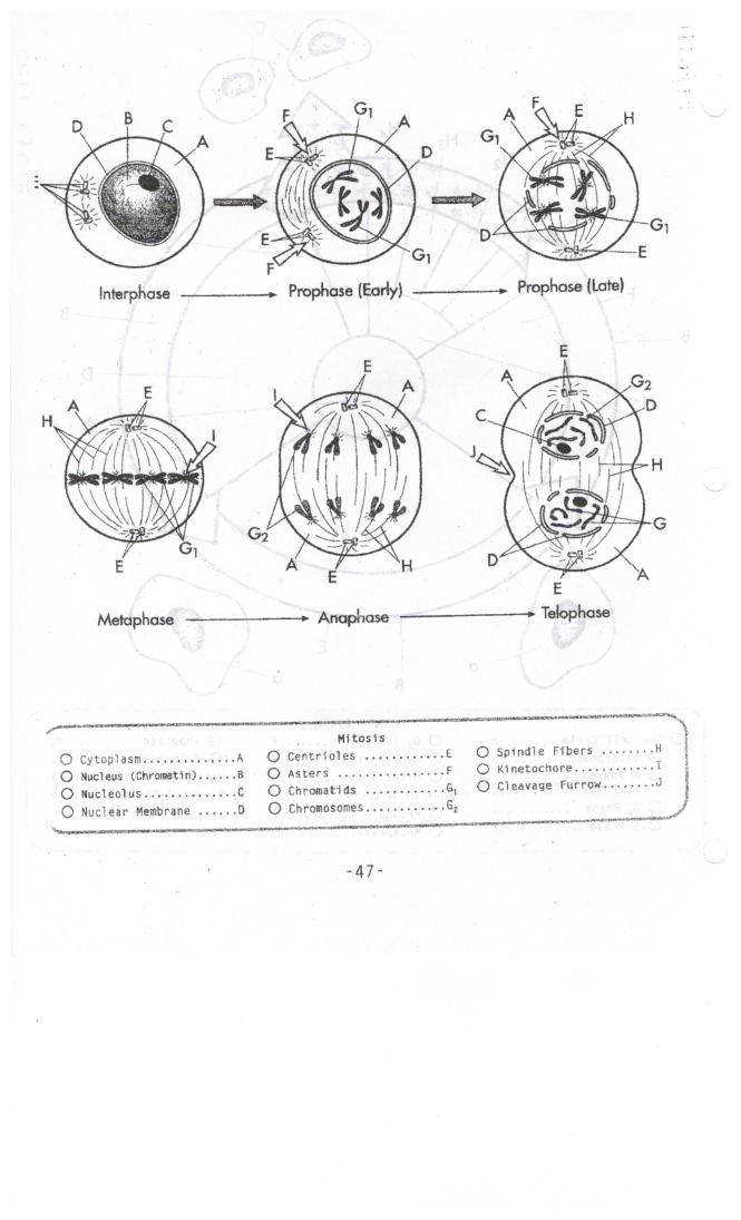 Cell cycle and mitosis worksheet answer key best key in the word mitosis ignment key freerunsca
