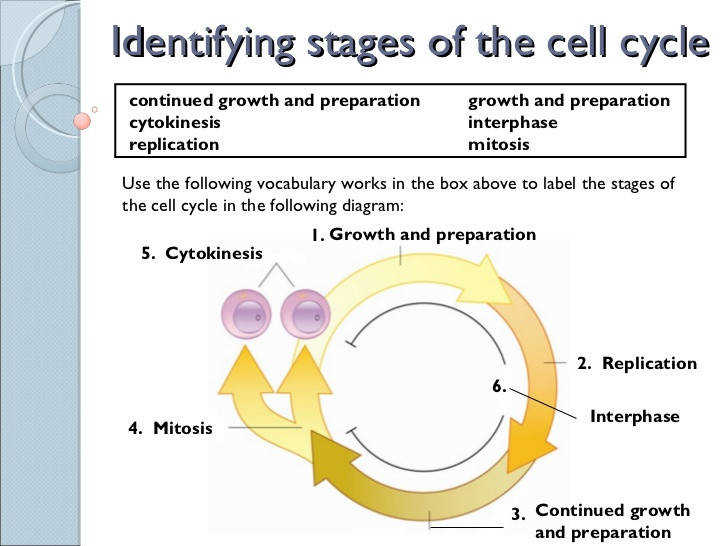 2 Identifying stages of the cell cycle