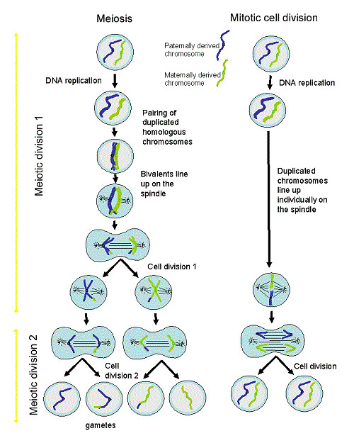 Collection meiosis diagram worksheet photos kaessey worksheets for school kaessey
