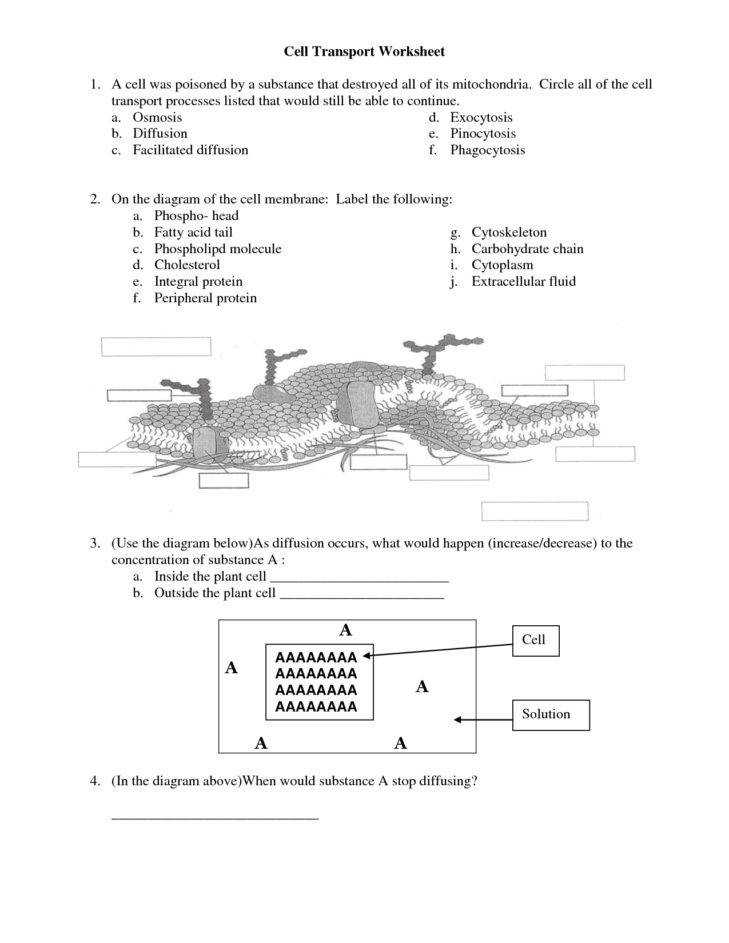 Medium Size of Worksheet cell Membrane Worksheet Answers Osmosis Is What Type Transport Membrane