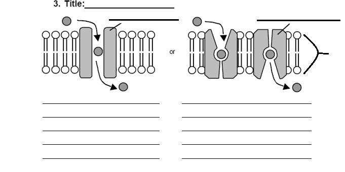 cell membrane images on Cell Membrane Worksheet Answers