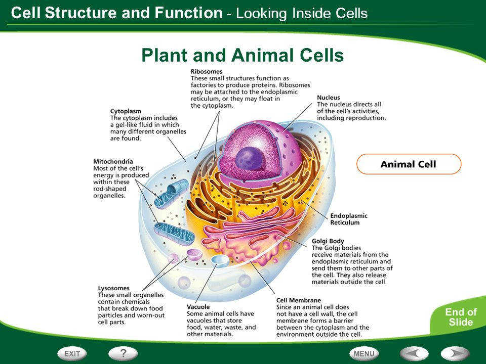 7 Looking Inside Cells Plant and Animal Cells