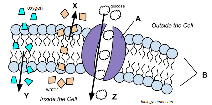 Cell Membrane and Transport Graphic