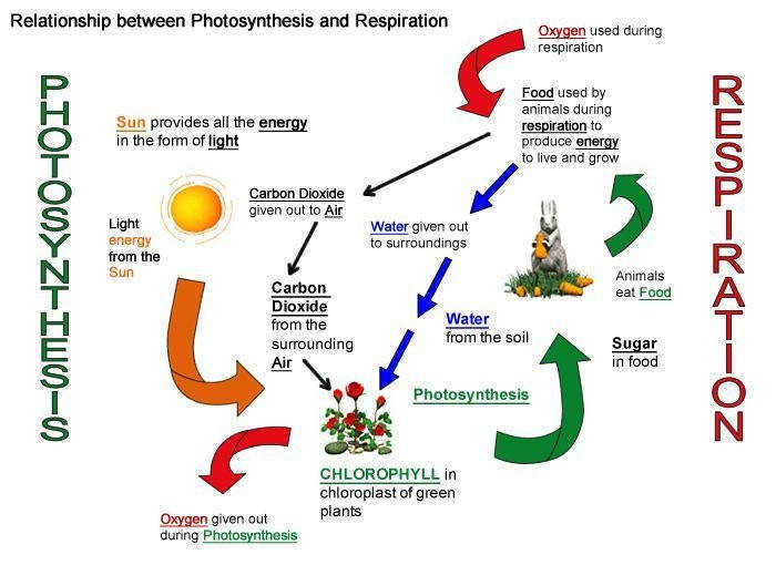 Cellular Respiration And synthesis Diagram Pics Cellular Respiration And synthesis Diagram Science Curriculum Resources Drawing Pleasurable