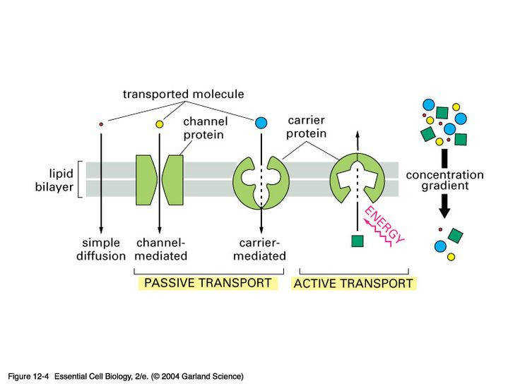 parison of passive and active transport biology Pinterest