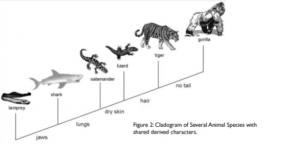 Question 1 According to the cladogram what organisms have hair According to the cladogram the tiger and the gorilla have hair