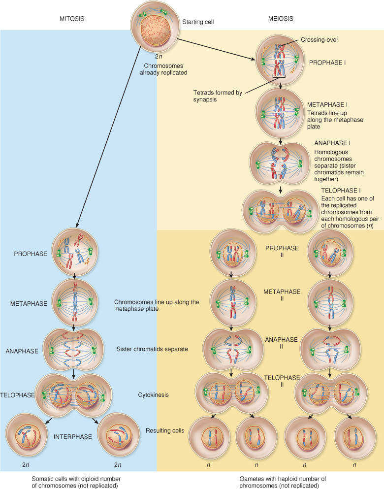 PARE AND CONTRAST the phases of mitosis and meiosis with this detailed visual aid