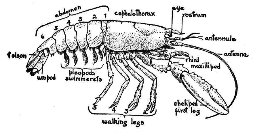 Crayfish Diagram Exterior - Trusted Wiring Diagrams •