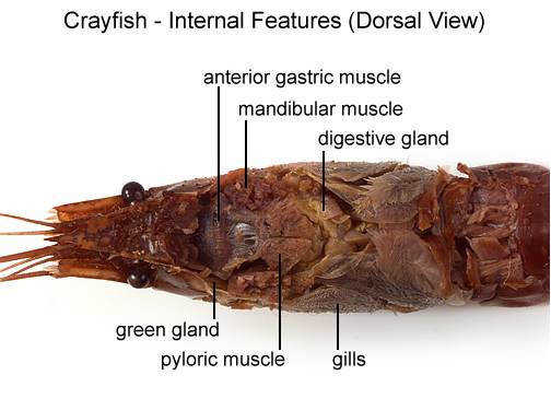 20 Use the diagram below to locate and identify the organs of the digestive system Locate the maxillae that pass the pieces of food into the mouth