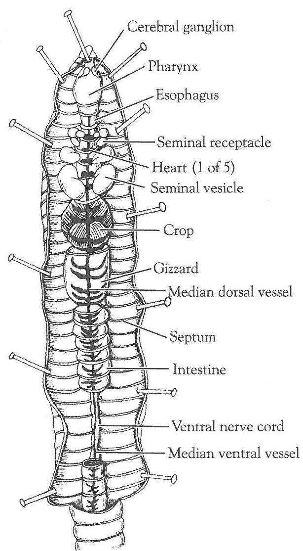 Closed Circulatory System Dissection of the Crayfish and