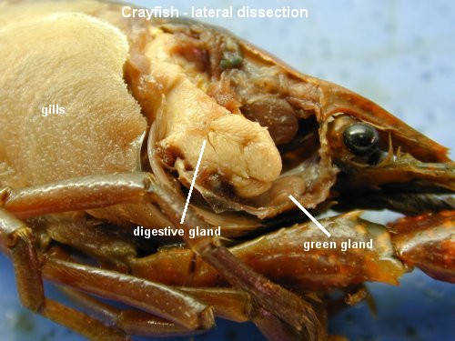 crayfish lateralcephalothorax bytes