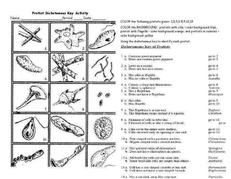 protist dichotomous key worksheet activity