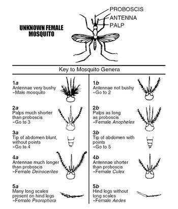 Insect Dichotomous Key Worksheet
