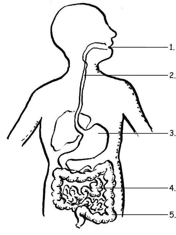 All Grade Worksheets The Human Digestive System Worksheet Systems Picture And Label 141 Surprising Coloring Pages