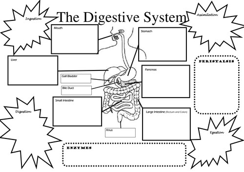 Digestive System Worksheet Homeschooldressage Com