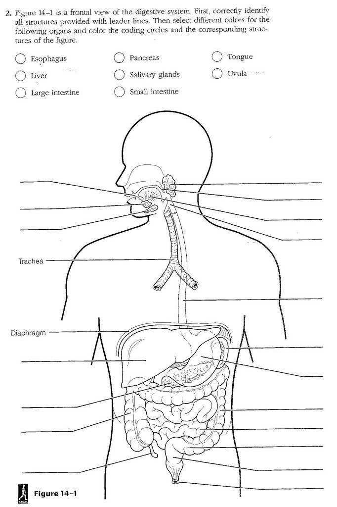 English teaching worksheets Digestive system