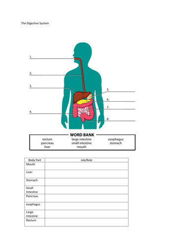 The Digestive System Worksheet by MMullen1005 Teaching Resources Tes