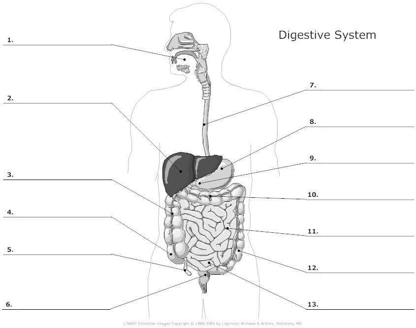 Digestive System Worksheet Whelper Worksheets Printables