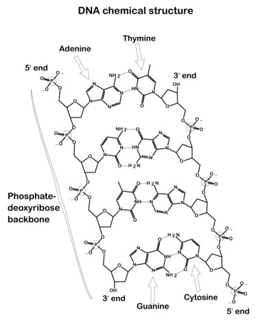 to see printable version of DNA Chemical Structure Coloring page