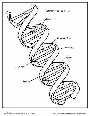 Chapter 4 genes dna section 1 what does look like 12 the molecule of heredity deoxyribonucleic acid is a type nucleic Worksheets