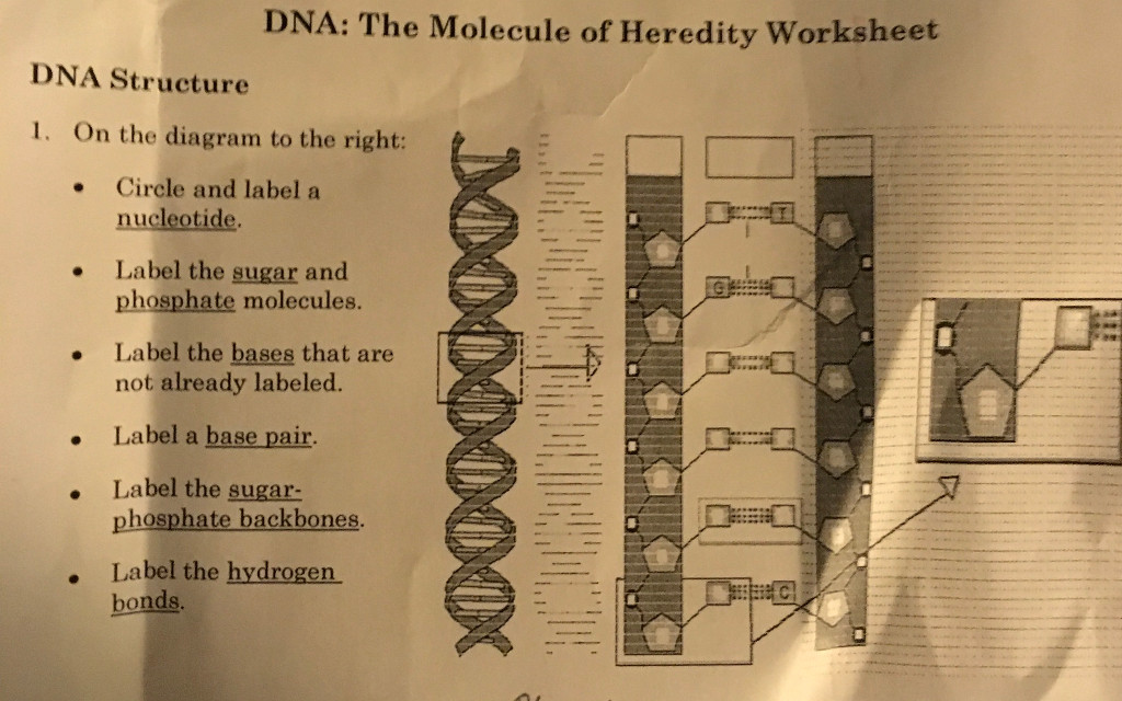 DNA The Molecule of Heredity worksheet DNA Structure i the diagram to the