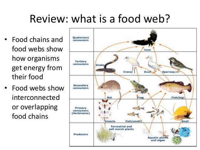 food webs and ecological pyramids 2 638