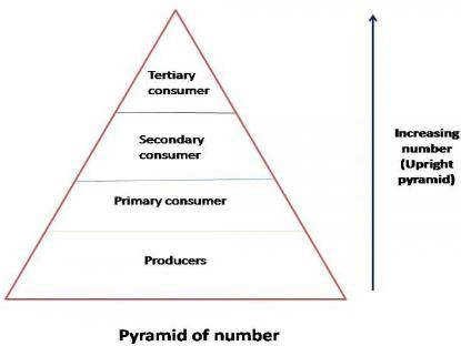 Nature of pyramid of numbers for food chains