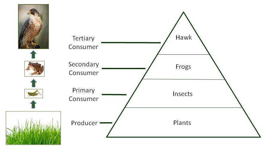 The flow of energy can also be represented within an energy pyramid Notice how the food chain can be modeled in an energy pyramid