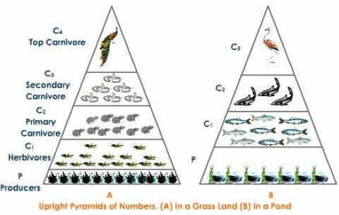 Ecological Pyramid of numbers – upright grassland pond ecosystem