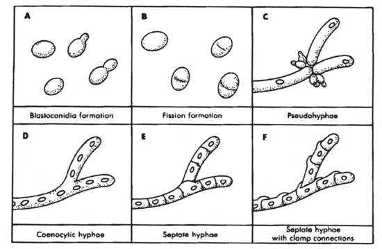 Fungal cell morphology