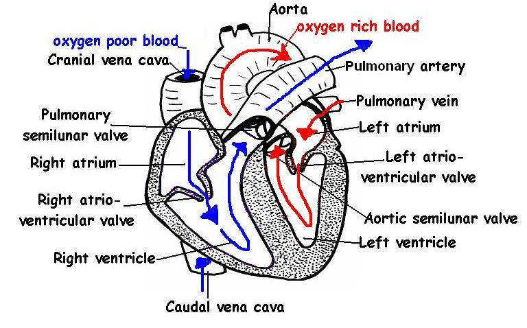 Heart structures labeled JPG