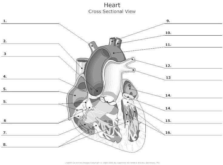 Cross Sectional View of the Human Heart Unlabeled