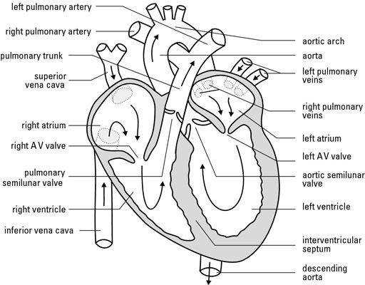 Best 25 Heart diagram ideas that you will like on Pinterest