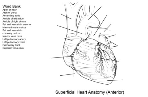 to see printable version of Human Heart Worksheet Coloring page