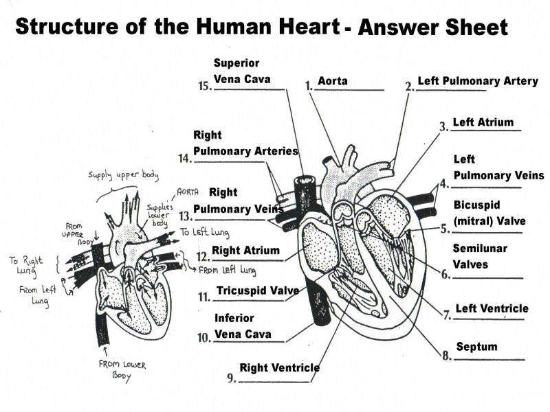Heart Full Anatomy The Heart Worksheet At Best Anatomy Learn