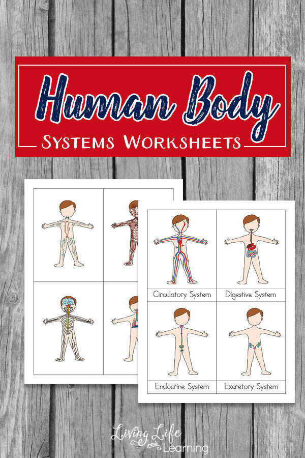 Human body system worksheets for kids teach them the functions of the different body system in